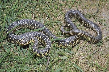 Was ist das f r eine schlange for Serpente frustone